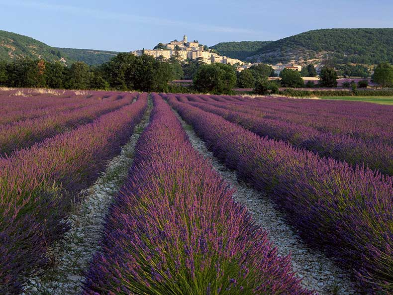 Lavender_at_Banon_Provence_France