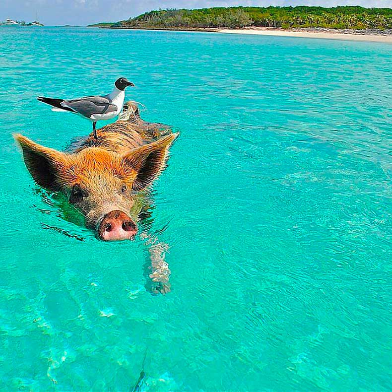 Pig-Beach-Bahamas